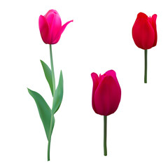 Tulips isolated on white background close up. Photo-realistic mesh vector illustration.