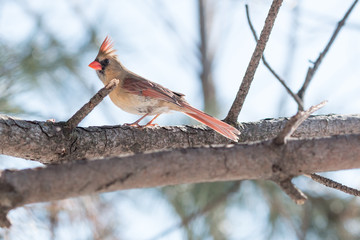 Female Northern Cardinal. A female northern cardinal perched on a branch in a pine tree during winter.