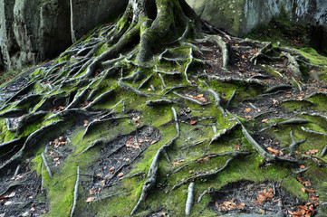The roots of old trees in the mountain forest of rocks and moss