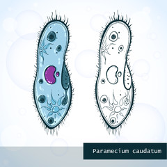 Microorganism Paramecium in sketch style, structure, vector illustration