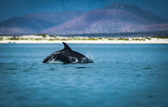 Dolphin frolicking in the sea of Cortez, Loreto, Baja Mexico