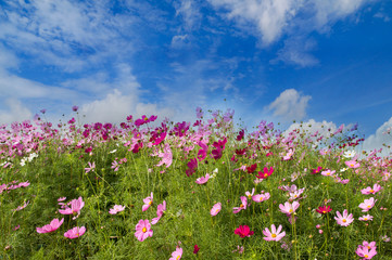 Cosmos Flower field on blue sky background,spring season flowers