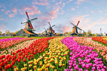 Aluminium Prints Amsterdam Landscape with tulips in Zaanse Schans, Netherlands, Europe