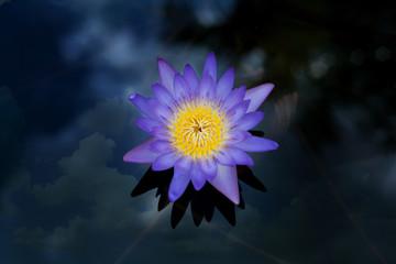 single violet lotus