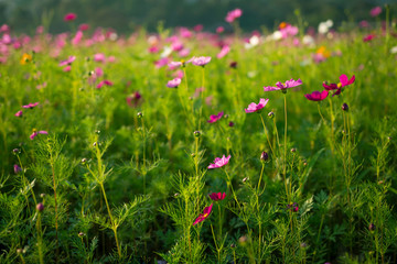 Pink Cosmos flower field, Selective focus