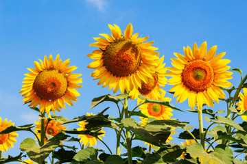 Sunflower at blue sky.