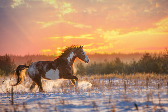 Red piebald horse runs on snow on sunset background