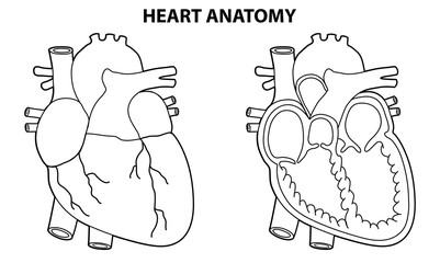 HEART ANATOMY OUTLINE ILLUSTRATION VECTOR