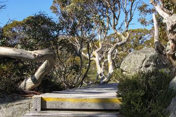 Boardwalk with wonderful Snow gums, Kosciuszko NP, New South Wales, Australia