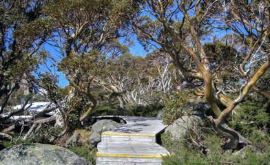 Boardwalk with wonderful Snow gums, Kosciuszko NP, New South Wales, Australia