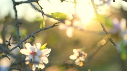 Klistermärke - Blooming almond tree. Beautiful spring nature scene with blooming tree and sun flare. Full HD 1080p video