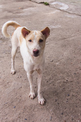 thai white stray dog, pet