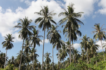Coconut palm trees over blue sky background.