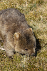Close up of a Wombat roaming feeding on grass, Cradle Mountain NP, Tasmania