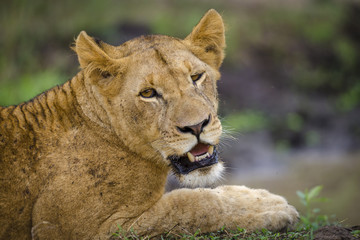 Lion (Panthera leo).KwaZulu Natal. South Africa