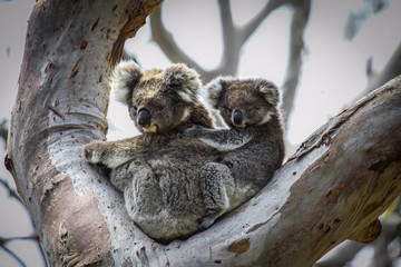 Koala mother with baby joey on its back sitting in a eucalyptus tree, facing, Great Otway National Park, Victoria, Australia