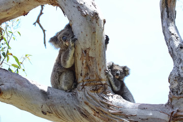 Koala mother and baby hiding behind a branch of  an eucalyptus tree, Great Otway National Park, Victoria, Australia