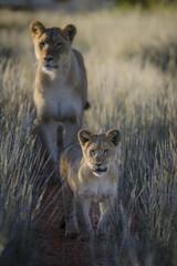 Lion (Panthera leo) cub and adult female. Kalahari. Northern Cape. South Africa.