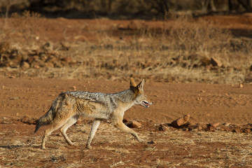 Blacck-Backed Jackal, Madikwe Game Reserve