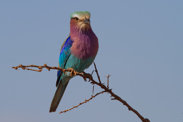 Lilac-Breasted Roller, Madikwe Game Reserve