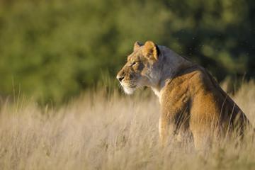 Lion (Panthera leo). Kalahari. Northern Cape. South Africa.