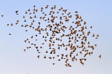 flock of migrating starlings