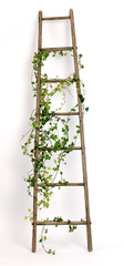 old ladder decorated with ivy twigs