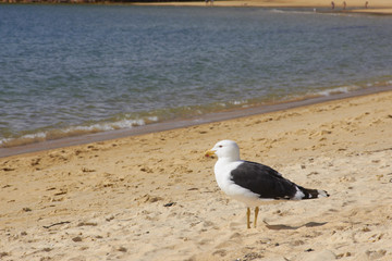 Black billed gull look at the sea on the beach