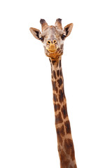 Giraffe Closeup Isolated - Happy Expression