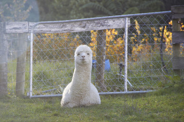 Alpaca is sitting and looking at the camera