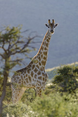 South African Giraffe or Cape Giraffe (Giraffa giraffa giraffa).  Southern Kalahari. Northern Cape. South Africa.