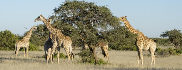 South African Giraffe or Cape Giraffe (Giraffa giraffa giraffa) browzing on camel thorn, giraffe thorn trees.  Southern Kalahari. Northern Cape. South Africa.
