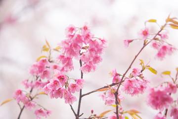 Soft and bright pink Thai cherry blossom (sakura)