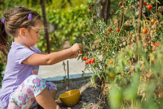 Child is picking up cherry tomatoes from ecological homemade garden. Bulgaria.