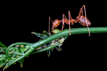 Red ant eating syrup from aphis