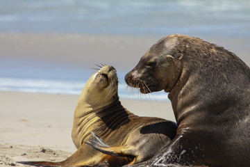 Couple of Australian sea lion in love on the beach, Seal Bay, Kangaroo Island, South Australia