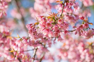 Pink sakura cherry blossom close-up