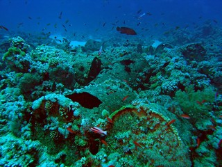 Barrels / Barrels from Louilla wreck on coral Gordon Reef close to Tiran Island, Sinai, Egypt