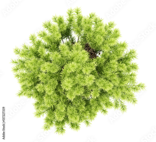 Top View Of Pine Shrub Plant Isolated On White Background