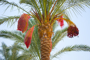 Date palm harvest dates