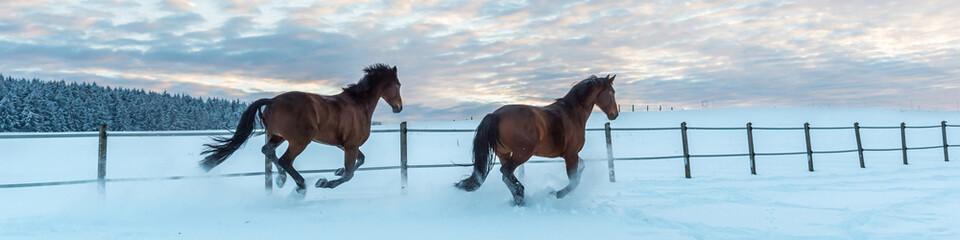Zwei Pferde - Westfalen - rennen abends durch den Schnee