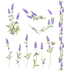Set of lavender flowers elements. Botanical illustration. Collection of lavender flowers on a white background. Vector illustration bundle.