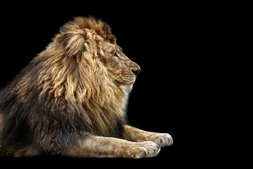 Portrait of a Beautiful lion, Cat in profile, lion in dark