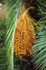 Colourful dates on palm tree.