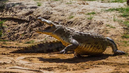 Crocodile in Tsavo East National park. Kenya.
