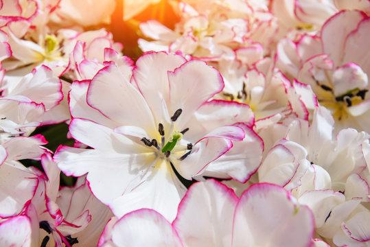 white - pink tulips. Keukenhof Flower Park. , Netherlands Holland