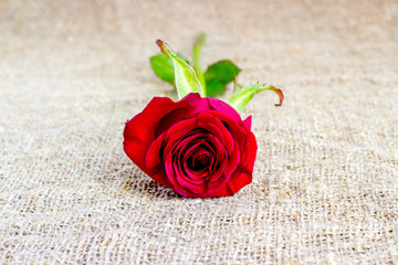 Red rose on the burlap background, on sackcloth.