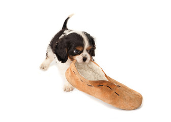 Puppy with slipper