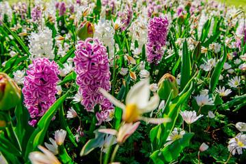 Group of beautiful multicolored hyacinths. Holland Keukenhof Flower Park