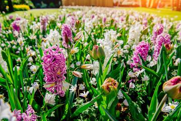 Group of beautiful multicolored hyacinths. Holland. Keukenhof Flower Park